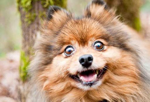 Pomeranian Dog Wallpaper