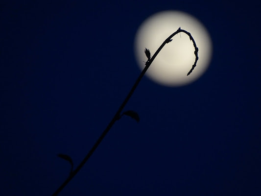 Germogli contro luna di dan
