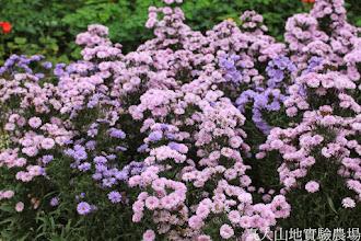 Photo: 拍攝地點: 梅峰-溫帶花卉區 拍攝植物: 紫孔雀(紫苑) 拍攝日期: 2014_08_18_FY