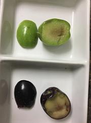 Oliva verde y oliva madura. ESAO 2019