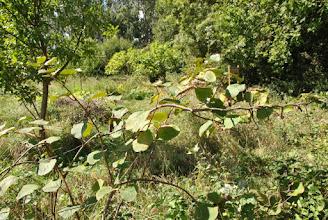 Photo: Des lianes à kiwis... on attend toujours les fruits !
