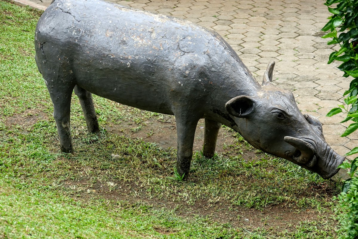 Local Pig - Babirusa, South Sulawesi