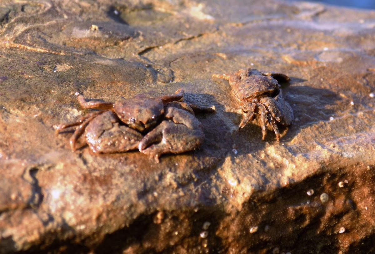 Marbled rock crab