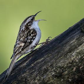Tree creeper by Jim Keating - Animals Birds ( bird, tree creeper, farmland, woodland, small bird, timid,  )