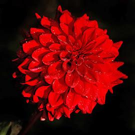 Dalhia n000255 by Gérard CHATENET - Flowers Single Flower
