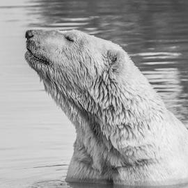 Polar bear by Garry Chisholm - Black & White Animals ( polar, nature, mammal, bear, garry chisholm )