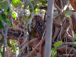 Photo: Mottled Wood Owl