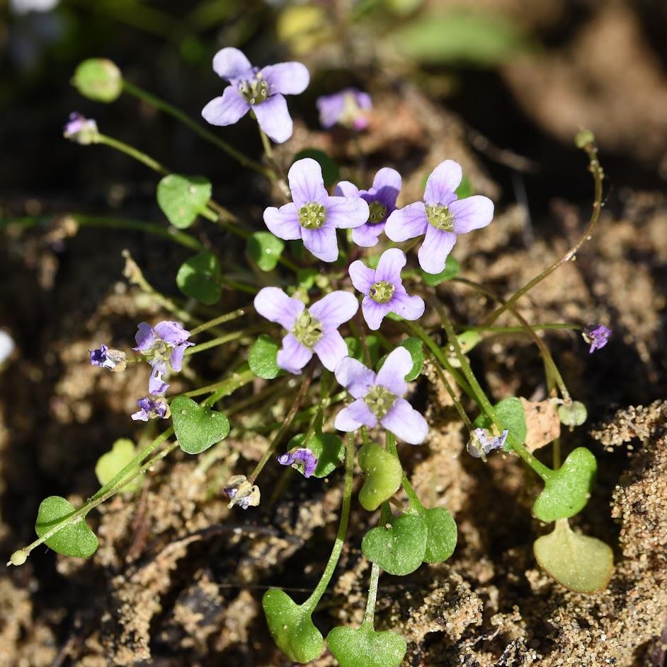 bloeiwijze en blad