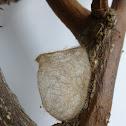Ruby Tiger moth cocoon