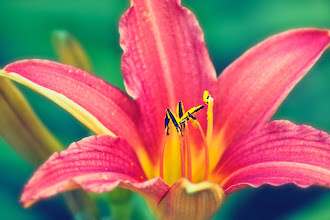 Photo: http://www.redbubble.com/people/inspiraimage/works/12595860-daylily-in-bloom