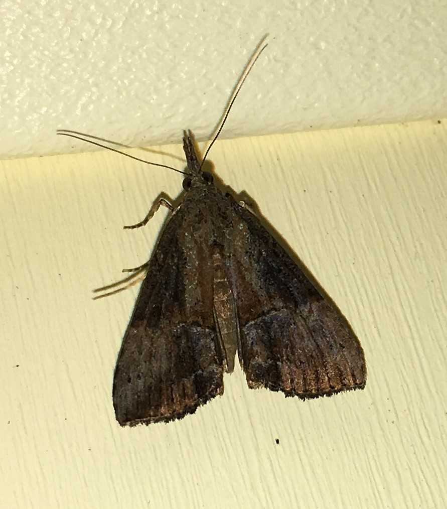 Green Cloverworm Moth