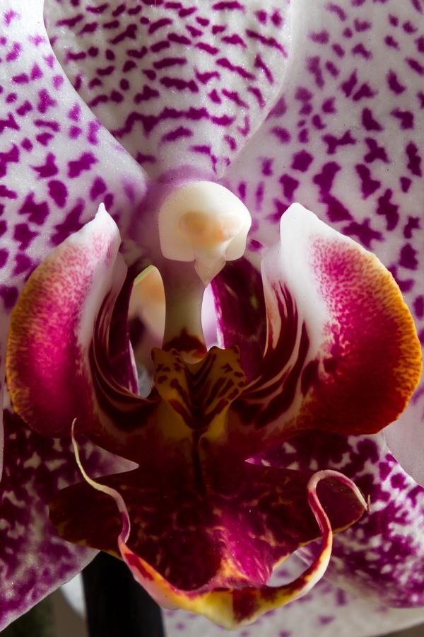 Orchidea Phalenopsys di gianniturtur