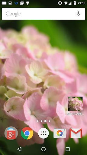 ピンク色の紫陽花の壁紙 無料版 Freeフリー