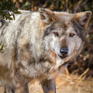 Mexican Gray Wolf-3.jpg