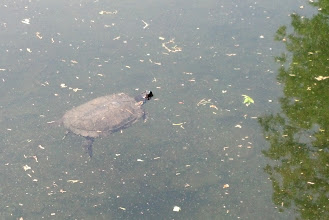 Photo: turtle pokes his head above water