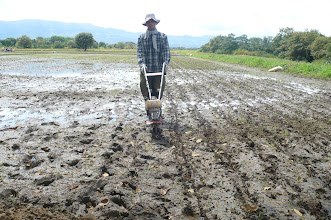 Photo: Jorge Orlando Acosta Buitrago has found that one of the main difficulties with his SRI field is in weed control. Here he is shown using a motorized weeder, which gives him partial control. [Photo courtesy of Jorge Orlando Acosta Buitrago]