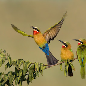 Three is a crowd by Francois Retief - Animals Birds