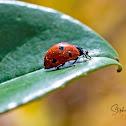 Ladybird (Seven-spot)