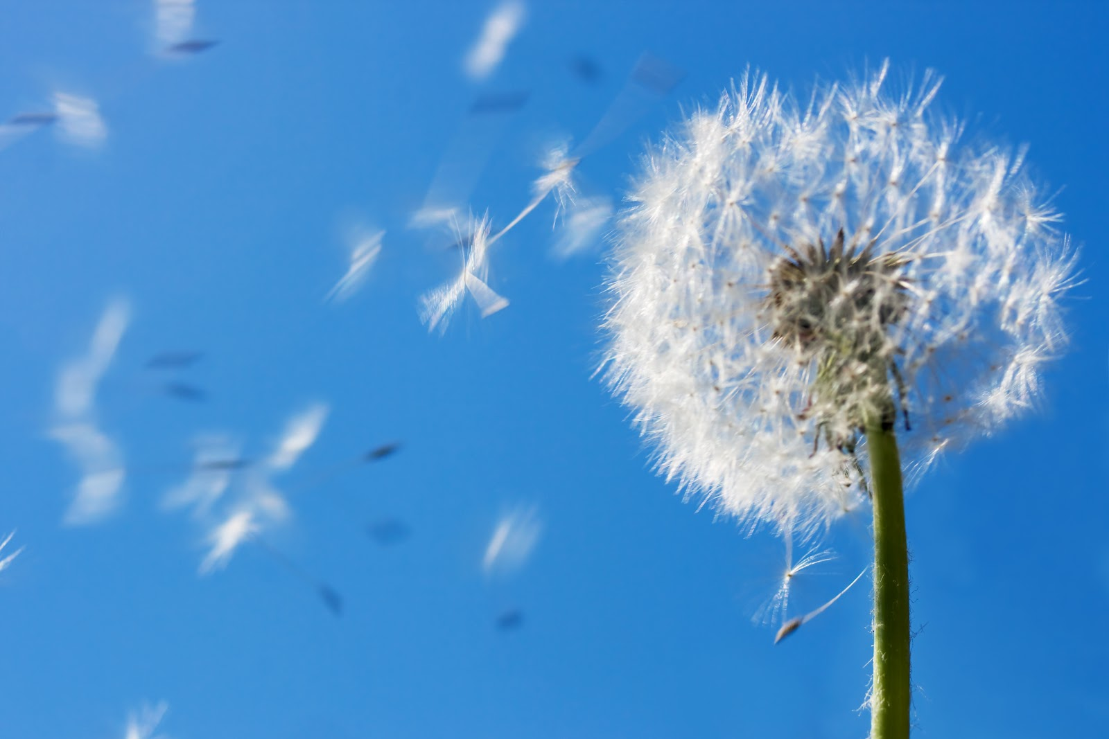 a dandelion going to seed and blowing away