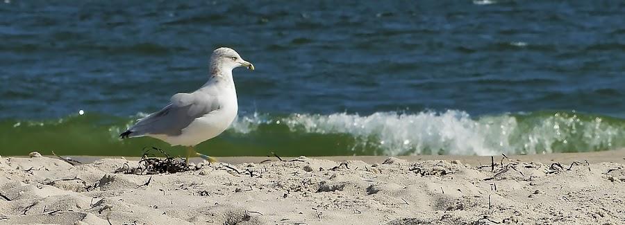 by Greg Bracco - Animals Birds ( beaches, seagull, summer, ocean, beach,  )