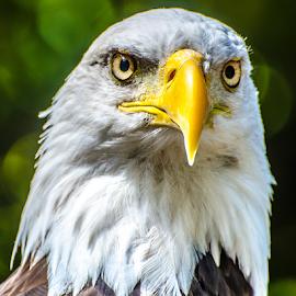 by Keith Sutherland - Animals Birds ( raptor, canada, head shot, bird, bald eagle, protrait, wild bird )