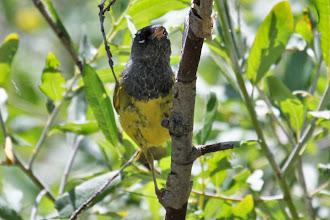 Photo: MacGillivray's Warbler