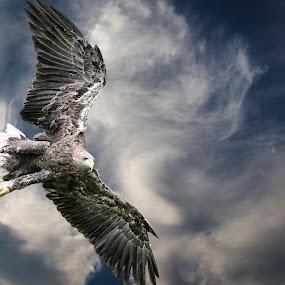 Eagle by Christoph Reiter - Animals Birds ( clouds, bird, sky, egle )