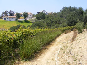 Photo: In this photo you are looking at the top row of five or six Vetiver rows which are stabilizing a repaired landslide. The other rows are down slope just beyond the young fruit trees.  Note the vetiver shows no sign of competitiveness.