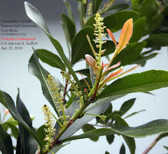 Photo: Narrow-leaf Ironwood, Crab Bush - Gymnanthes lucida, Critically Endangered, EUPHORBIACEAE. Shrub/small tree, Florida and West Indies. Photo: P. Ann van B. Stafford, April 25, 2010 Flora of the Cayman Islands by George R. Proctor, 2012, p.460.