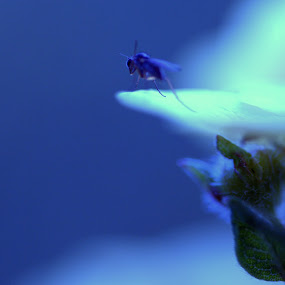 Ocean fly by Nick Hogg - Animals Insects & Spiders ( macro, fly, insect, flower, canon )