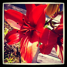 Photo: d lily #flower #plant #red #yellow #intercer - via Instagram, http://instagr.am/p/Ml8e1NpftM/