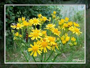 Photo: Ecaille du Séneçon sur Séneçon de Jacob (Jacobaea vulgaris)