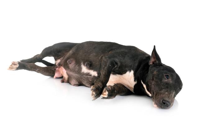 có thể nhận biết chó có bầu qua vài tập tính thói quen