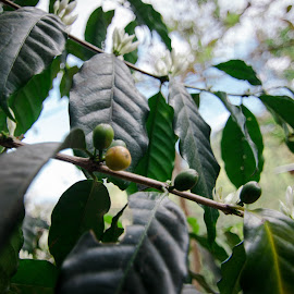Coffe bean by Sherisse Condenuevo - Nature Up Close Other plants ( coffee plant, coffee beans, coffee bean, coffee trea, coffee leaves, coffee on a tree, coffee beans and leaf )