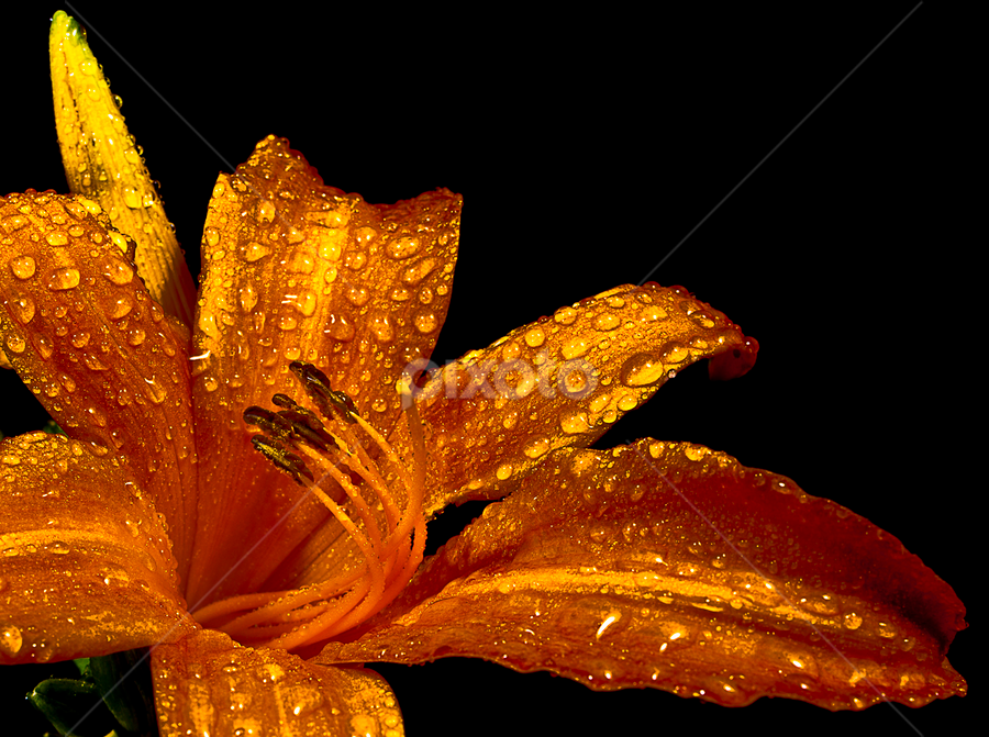 Golden by Roger Fanner - Nature Up Close Flowers - 2011-2013