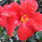 Hibisco, Rosa de China, Pacífico, Cardenales, Flor del beso – Chinese hibiscus, China rose, Hawaiian hibiscus, Rose mallow, Shoeblackplant