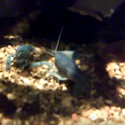Electric Blue Crayfish