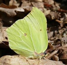 Photo: Brimstone butterfly 23 April 2015 © Keith Gittens 2015