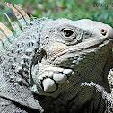 iguana del caribe