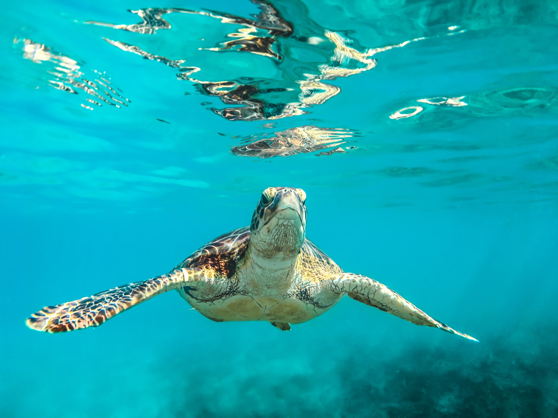 A turtle swimming in the Caribbean sea