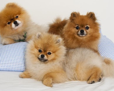 Pomeranian Spitz Dogs Wallp- screenshot thumbnail