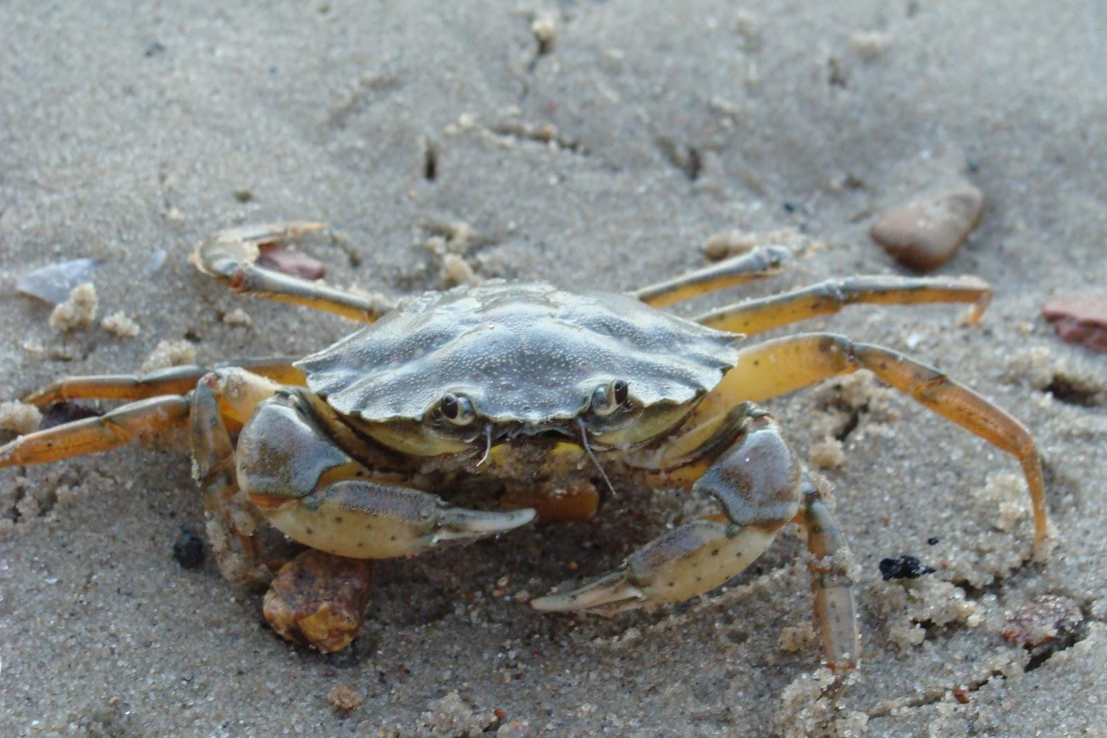 https://upload.wikimedia.org/wikipedia/commons/6/60/Common_shore_crab_1.JPG