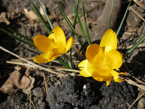 Photo: First signs of spring (In Denver)