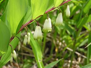 Photo: アマドコロ(ユリ科)。 2007.06.12 碁盤石山にて。 ナルコユリとよく似ているがナルコユリの茎は丸いのに対しこの花の茎は角張っている。