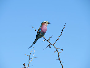 Photo: lilac-breasted roller