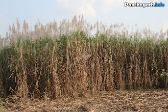 Photo: Sugar Cane fields