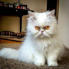 Grumpy Cat Relative  by Leah N - Animals - Cats Portraits ( enite phone library,  )