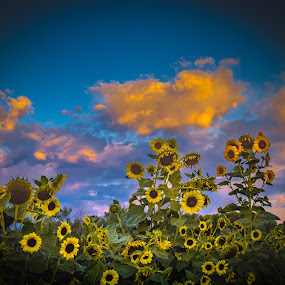 Sunflower Sunset by Brandon Montrone - Flowers Flowers in the Wild ( beautiful flower, clouds, sky, nature, sunflowers, sunset, sunflower, flowers, floral, flower )