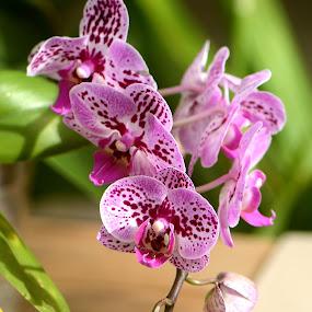 Pink Spot by Scot Gallion - Flowers Flower Gardens ( pink orchid, green spring garden park, orchid,  )
