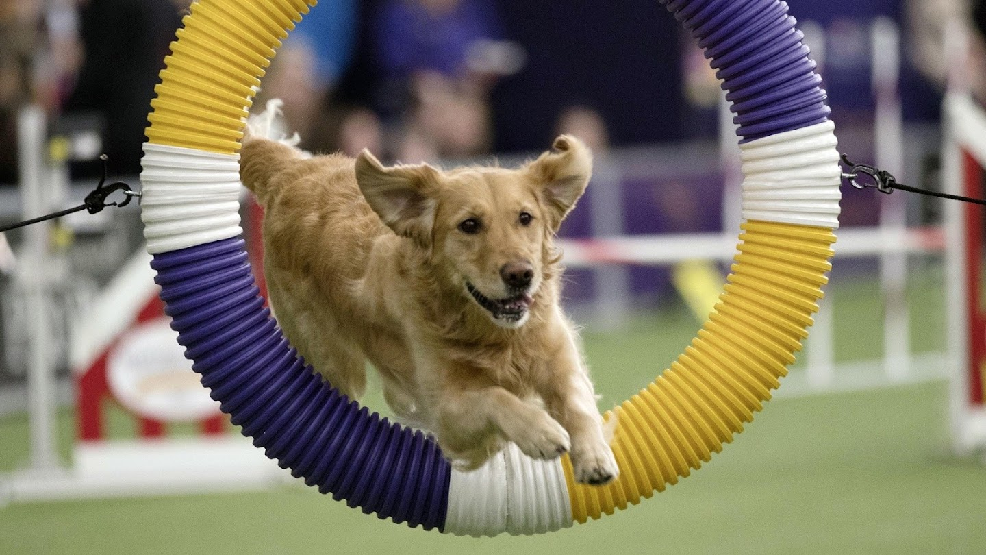 Watch The Masters Agility Championship at Westminster live